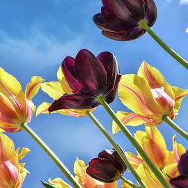 Tulips Reaching for Heaven by Norman Gabitzsch