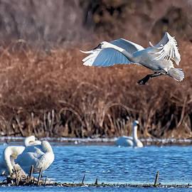 Tundra Swan Landing by Fon Denton