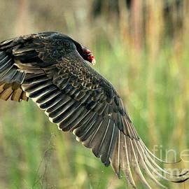 Turkey Vulture in flight by Myrna Bradshaw