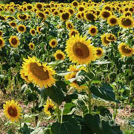 Turkish Sunflower Farm by Bob Phillips