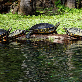 Turtles and Water Lettuce by Sally Weigand