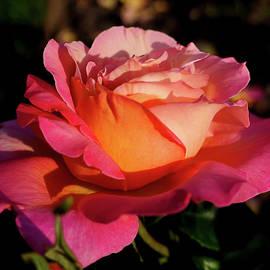 Tutti frutti rose by Helene Fallstrom