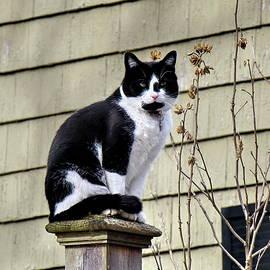 Tuxedo Cat by Lyuba Filatova
