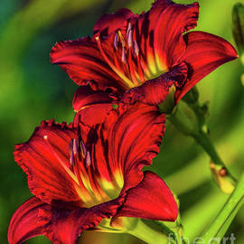 Twin Beauties - Ruby Daylilies by Cindy Treger