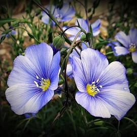 Twin Blue Beauties... by Stan V Griep - SvG Photographic