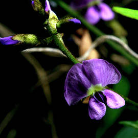 Twining Glycine by Graham Palmer