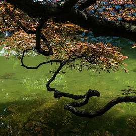 Twisted - Graceful Japanese Maple Branches Overwater