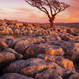Twisted tree in Limestone pavement at Twistleton Scar,  Ingleton, Yorkshire Dales National Park,UK by Neale And Judith Clark