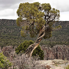 Twisted Trees On The Edge by John Trommer