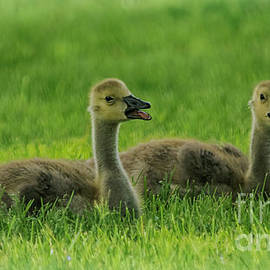 Two Baby Geese by Janice Pariza