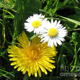 Two Cheeky Button Daisies and a Dandelion by Kathryn Jones