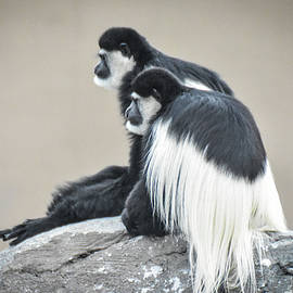Two colobus monkies by Ed Stokes