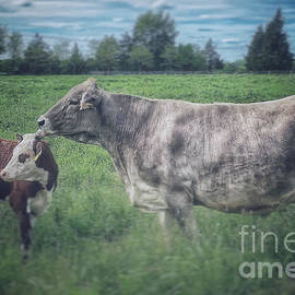 Two Cows by David Rucker