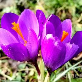 Two Crocuses  by Lamei Lepschy Bian