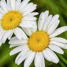 Two Daisies in a North Carolina Forest by Bob Decker