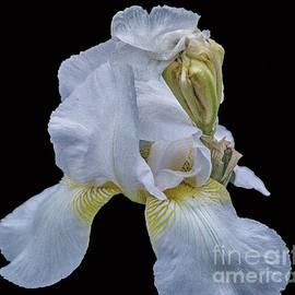 Two Days White Iris Bearded by Gary Shindelbower