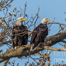 Two Eagles in a Tree by Marv Vandehey