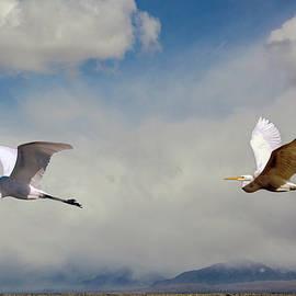 Two Egrets In Flight by John Bartelt
