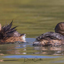Two Grebes by David Cutts