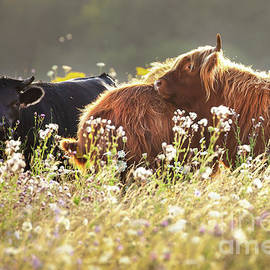 Two highland cows together in a meadow by Simon Bratt Photography LRPS
