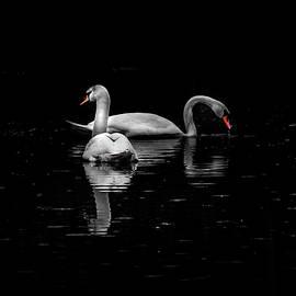 Two Mute Swans by Andrea Swiedler