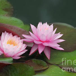 Two Pink Beautiful Water Lilies by Linda D Lester