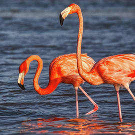 Two Pink Flamingos by Tatiana Travelways