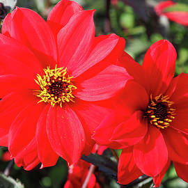 Two Red Dahlias by Angie C