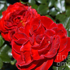 Two Red Roses  by Joy Watson
