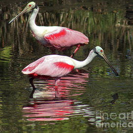 Two Roseate Spoonbills by Maili Page