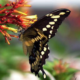 Black Swallowtail on Firecracker Bloom by Christopher Haire