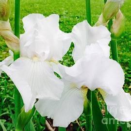 Two White Iris by Debra Lynch