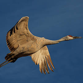 Undercarriage, Sandhill Crane by Flying Z Photography by Zayne Diamond