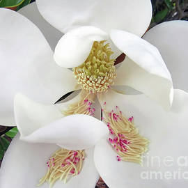 Unfolding Beauty of Magnolia