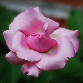 Unfurling Belindas Dream Rose Square Format by Marilyn DeBlock