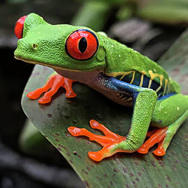 Up Close and Personal - Red-Eyed Tree Frog by Teresa Wilson