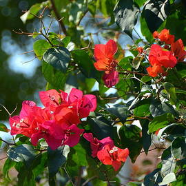 Beautiful Bouganvillea by Carla Parris