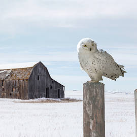 Vagrant Snowy Owl by Spadecaller