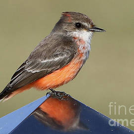 Vermilion Flycatcher in the Everglades by Meg Rousher