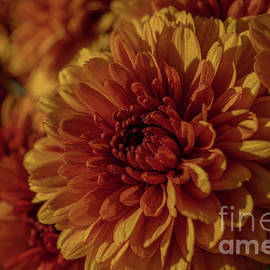 Vibrant Fall Mums by Linda Howes