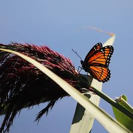 Viceroy Butterfly by Marlin and Laura Hum