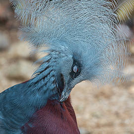 Victoria Crowned pigeon by Marylou Badeaux