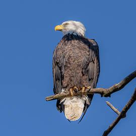 Vigilant Bald Eagle by Morris Finkelstein