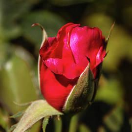 Vignette Rose Bud by Robert Bales
