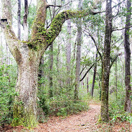 Vine Covered Dead Oak Tree in the Croatan by Bob Decker
