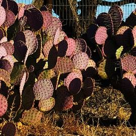 Violet Pricklypear by Frederick Hahn
