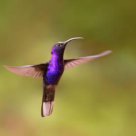 Violet sabrewing hummingbird by Roeselien Raimond