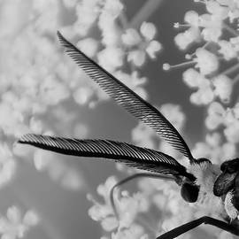 Virginia Ctenucha Moth by Kirk Riedel