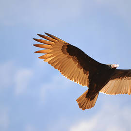 Vulture Fly Over by Gaby Ethington