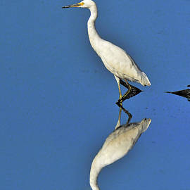 Wading Snowy Egret and Reflection by Regina Geoghan